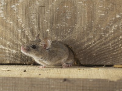 house - mouse